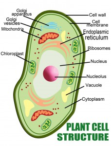Parts-of-a-Plant-Cell-779x1024